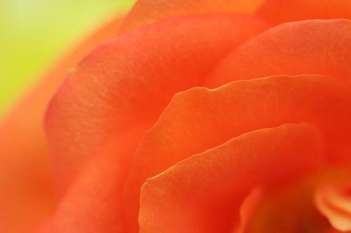 Rose4 3-2008