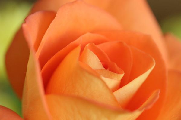 Rose9_32008_2